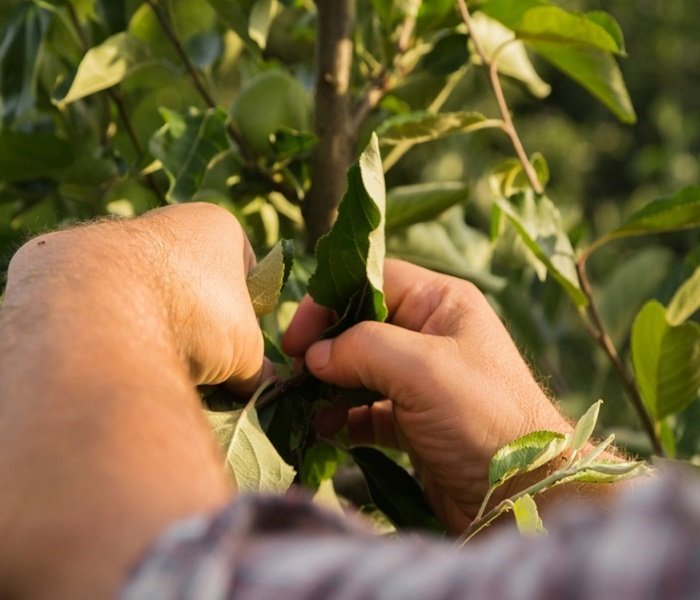 Before starting your tree pruning service, PPM Tree Service & Arbor Care evaluates the foliage and branches, by hand, to determine the best course of action.