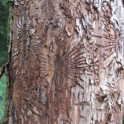 Bark beetles is the most common way the fungus can spread through the tree.