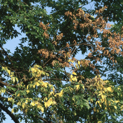 Dutch elm disease can cut off the nutrients to the trees branches.
