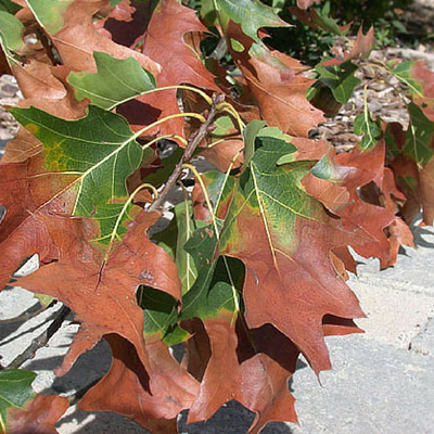 Oak Wilt can move quickly throughout the tree.