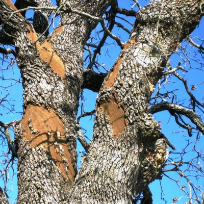 Insects are the most common way, Oak Wilt spreads throughout the tree.