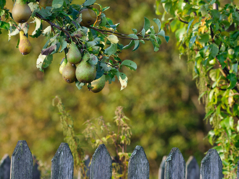 Pear trees are a great choice for a fruit tree to have in Michigan.