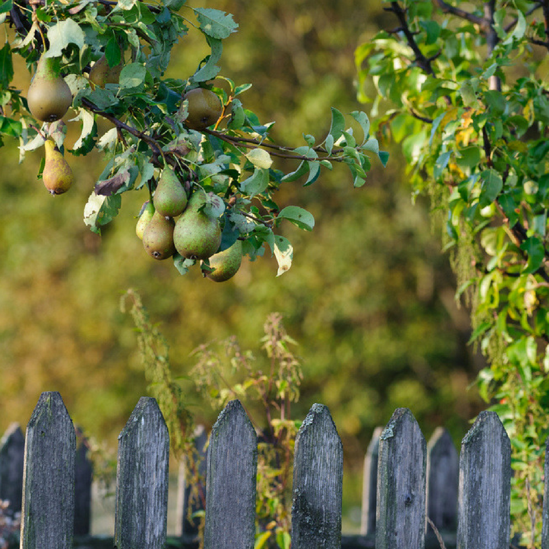 Pear Trees Are A Great Choice For Fruit Tree To Have In Michigan