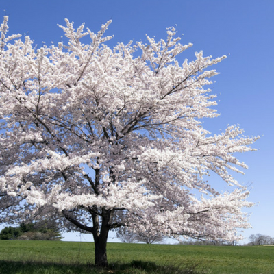 A beautiful serviceberry tree! A common sight throughout Michigan!