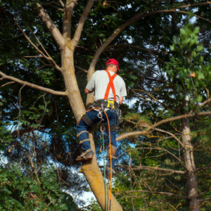 Certified master arborist works on tree.