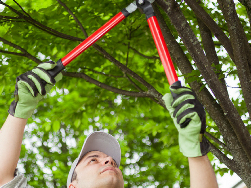 Pruning helps keep trees healthy