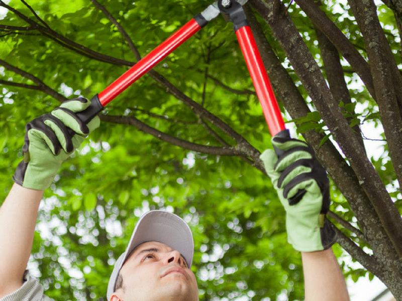 Pruning helps keep trees healthy
