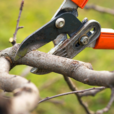 Prune off dead branches on trees and shrubs