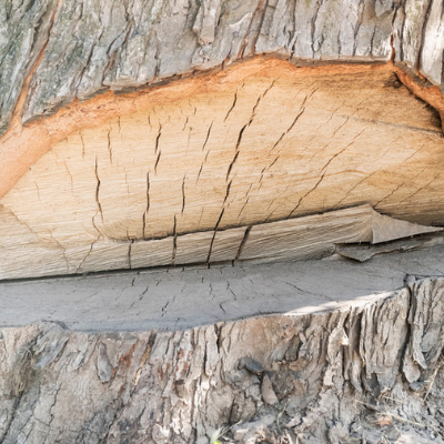 Cutting a notch in the trunk will make tree removal much easier