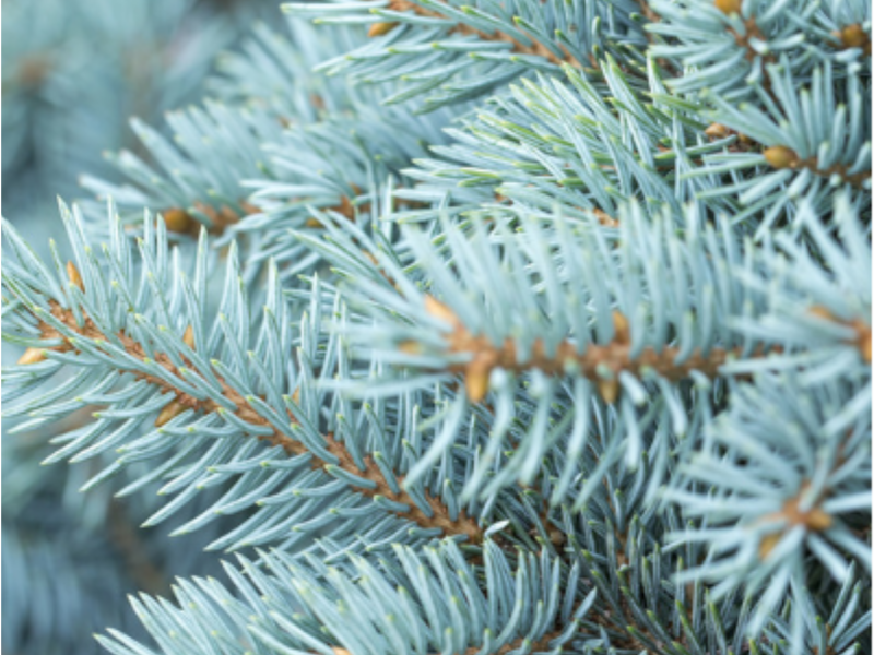 Blue Spruce decline in michigan