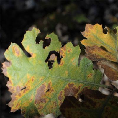 oak wilt found on tree leaf in Michigan