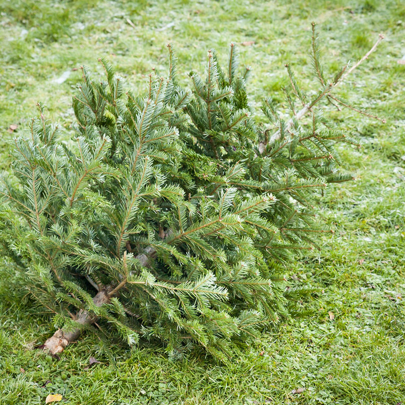 Disposing Of Christmas Trees: Clever Different Ways To Dispose Of Your Christmas Tree