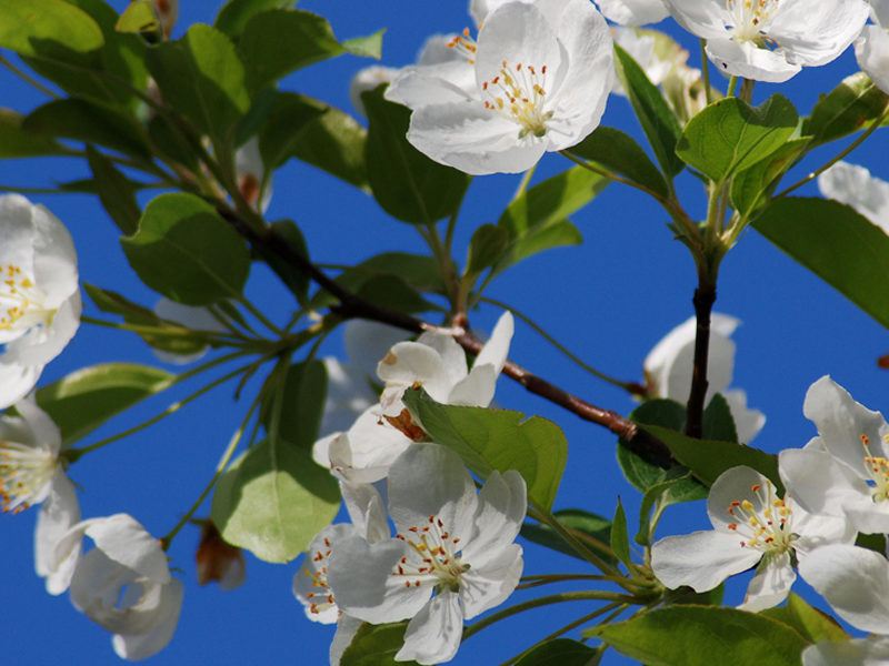 good flowering trees for spring in michigan