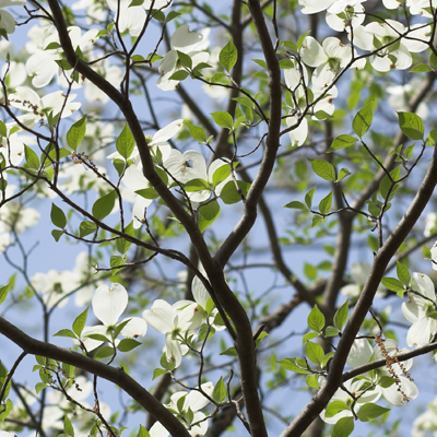 white dogwood tree and shrub