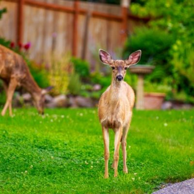Use deer repellents to keep deer away from trees and plants in Ann Arbor, MI