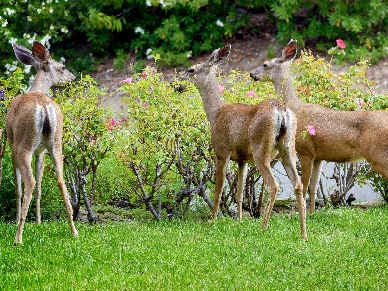 Keep deer from damaging your trees and garden in Farmington Hills, MI