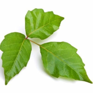 Poison ivy has three leaves that grow on a vine and can cause a severe allergic reaction, making vine identification very important for this Bloomfield Hills, MI vine.