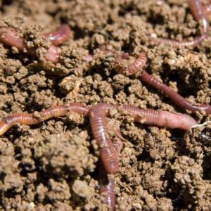 Earth worms feed on decomposing mulch and improve the health of your soil in Livonia MI