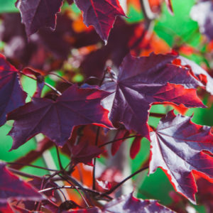 The crimson king maple, with its blood red leaves, is one of the most beautiful maple trees to add to your Michigan yard.