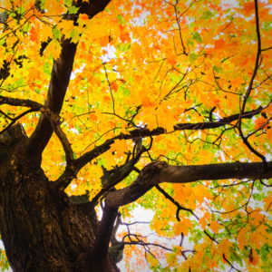 The sugar maple is one of the most beautiful maple trees in Michigan.