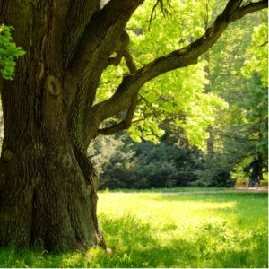 The white oak is a mighty tree and one of the best shade trees to add to your Ypsilanti, MI lawn this summer.
