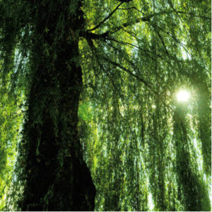 The weeping willow is one of the best shade trees in MI, us it to add a touch of beauty to your Ypsilanti, MI lawn.
