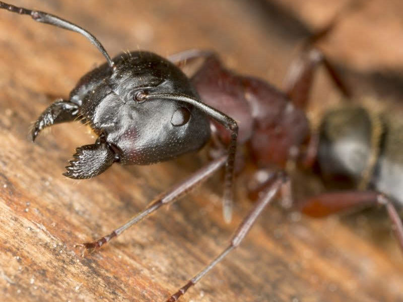 Carpenter ants are persistent pests and are some of the worst tree damaging insects in Michigan.