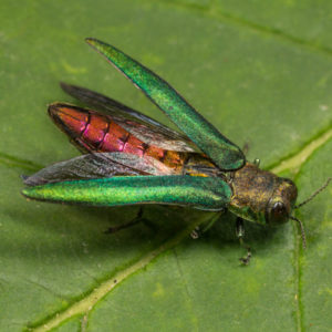 The emerald ash borer is one of the worst tree damaging insects in Michigan.