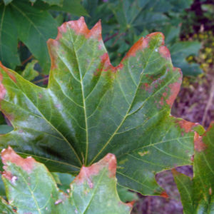 Anthracnose is a common tree disease that affects maple trees and other trees here in Novi, MI.