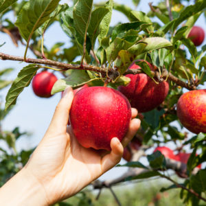 Visiting apple orchards in Michigan and picking our own apples is one of the best things to do with the family this fall.