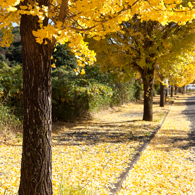 Adding a gingko tree to your Ann Arbor property is a great way to add yellow fall colors to your landscape.