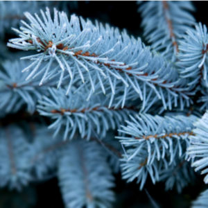 The Colorado blue spruce is one of the best Christmas trees available in Novi, MI.