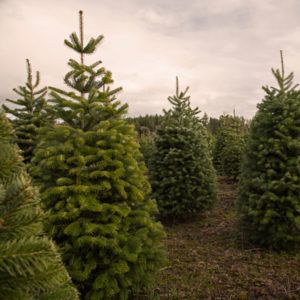 The Douglas fir is one of the best Christmas trees you can get here in Novi, MI.