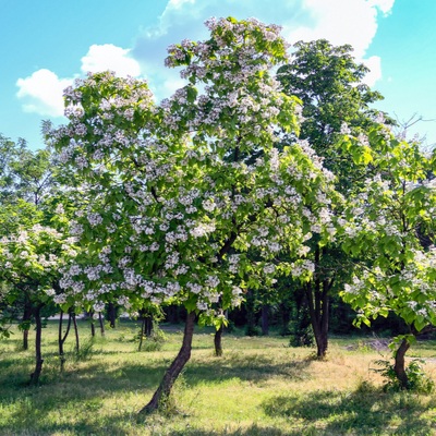 The Northern Catalpa tree is one of the best shade trees in Michigan and offers beautiful flowers in the spring and summer.