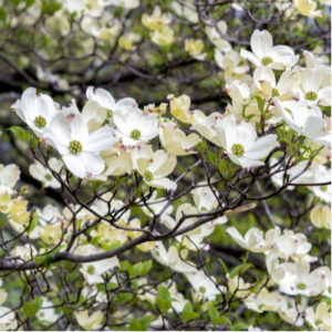Dogwood trees are some of the most sought after flowering trees in Michigan and are the perfect reason to invest in tree planting services from PPM Tree Service & Arbor Care.