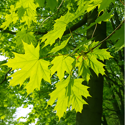 Maple trees are some of the best shade trees in Michigan and make an excellent addition to any Michigan lawn.