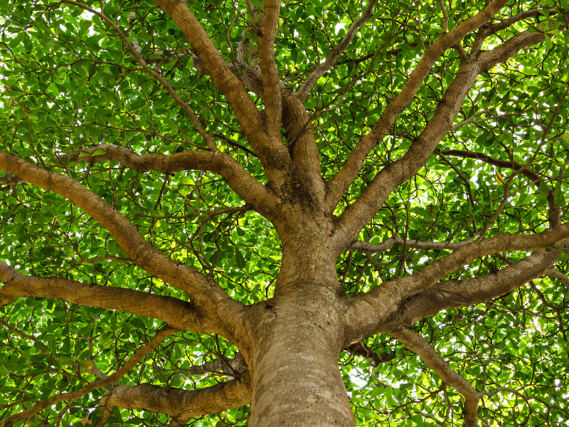 a large, healthy tree