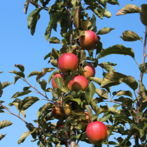 Red apples growing on a tree
