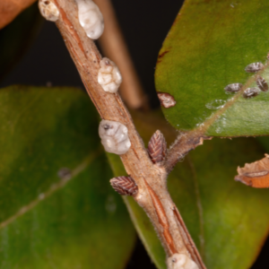 Tree scale insects on a branch