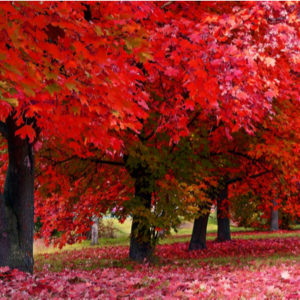 row of red maple trees