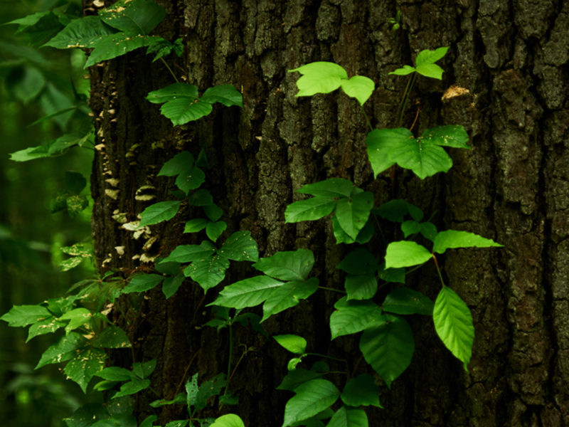 poison ivy growing on a tree