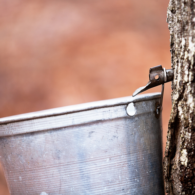 syrup bucket on a maple tree