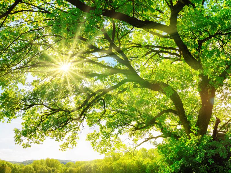 sun shining through an oak tree