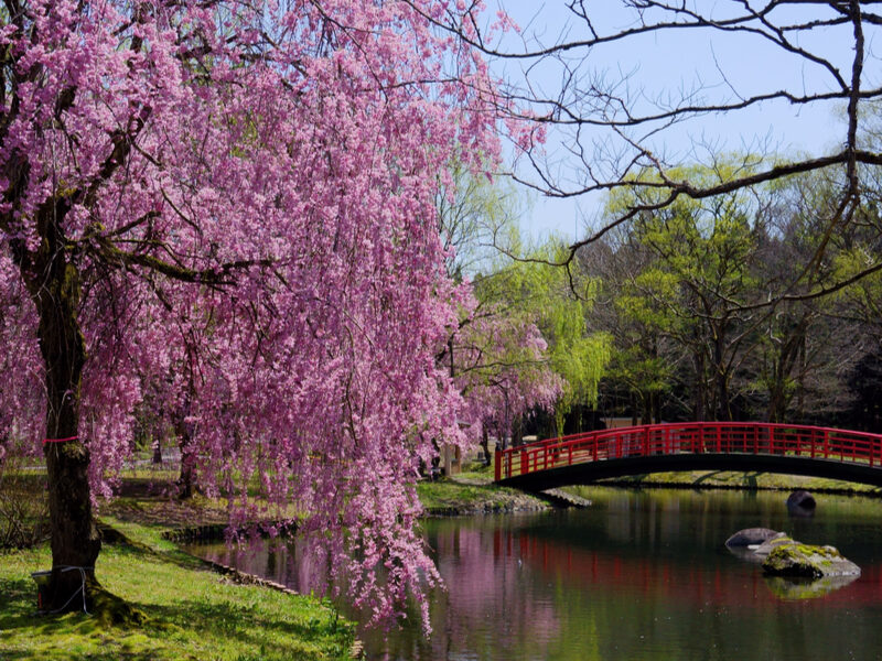weeping cherry tree along a river